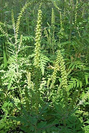 Ambrozia o planta periculoasa